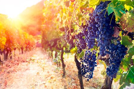 Raisins rouges dans le vignoble au coucher du soleil