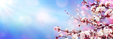 Blooming In Spring Almond Blossoms In Sunny Sky