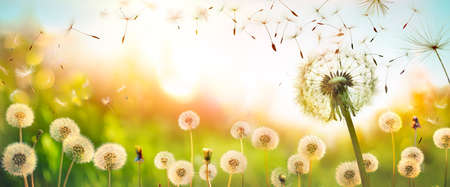 Dandelions With Flying Seeds In Defocused Field - Freedom And Allergy Concept Stok Fotoğraf