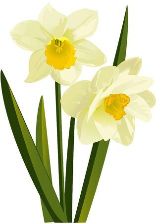 Narcissus Illusztráció