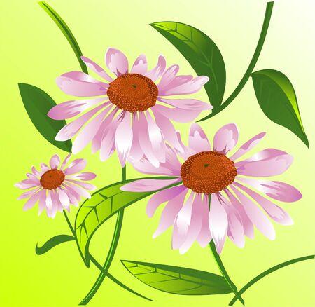 echinacea: Echinacea  Illustration