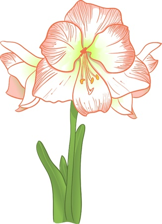 corolla: Amarillis  Illustration