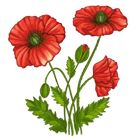 Illustration avec des fleurs de coquelicots, vecteur