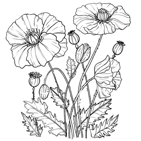 Illustration with poppies flowers, outline, vector