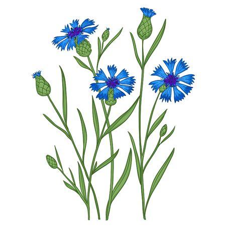 Illustration with cornflowers, vector