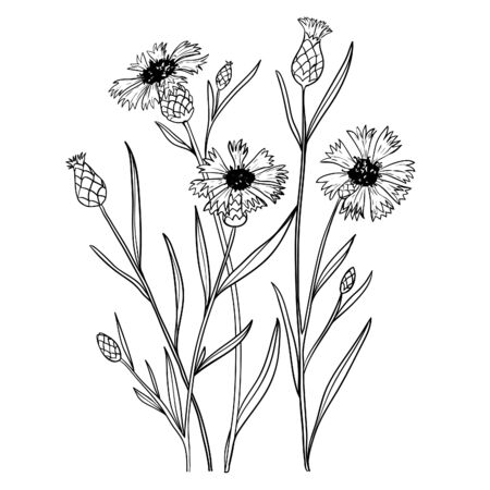 Illustration with cornflowers, outline, vector