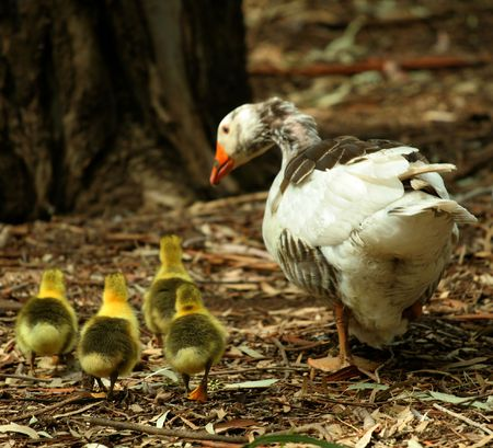 mother goose with her children photo