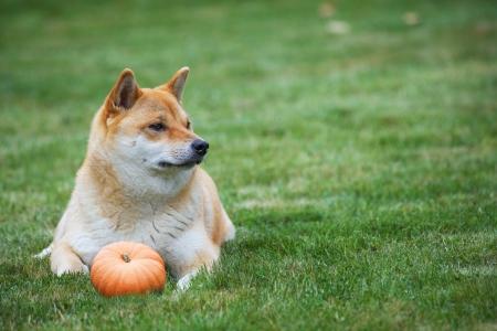 horisontal: siba inu dog with pumpkin, horisontal photo with copy spase Stock Photo