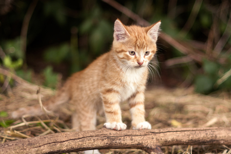 ourdoor: red kitten outdoor
