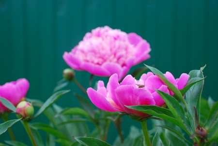 blooming pink peonies in the garden in front of a green fence  Stock Photo