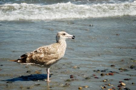 Gull on the shore of the Atlantic Ocean