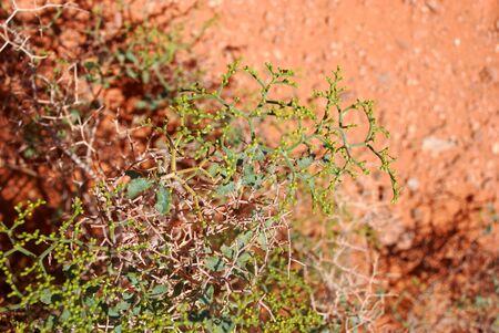 creeping desert plants in Arizona