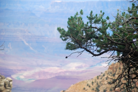 pine on the rock hanging over the Grand Canyon