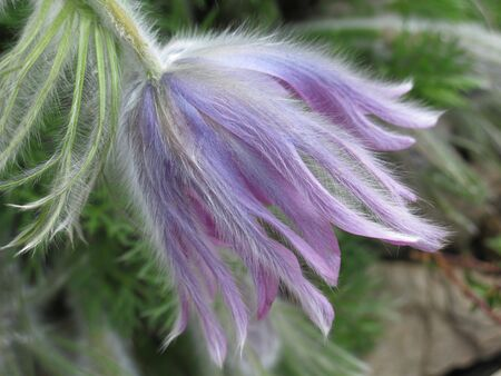 pasqueflower: Detail of pasqueflower blossom