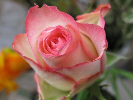 frailty: Pink rose closeup