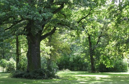 english oak: Strong old oak tree in English park Stock Photo
