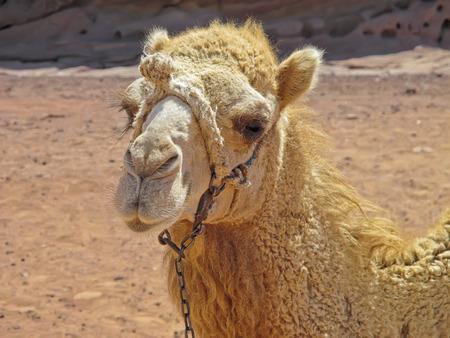 amiable: Bedouin camel portrait at Petra, Jordan. Stock Photo