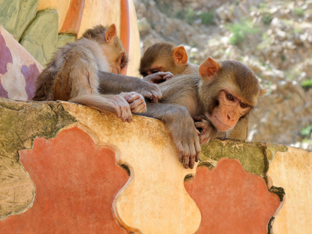 Lying macaque monkeys care for each other. Monkey temple Galwar Bagh in Jaipur, India