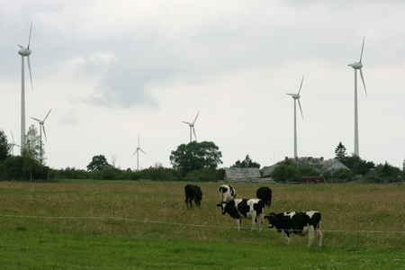 Cows Grazing in Blooming Field with Windmills photo