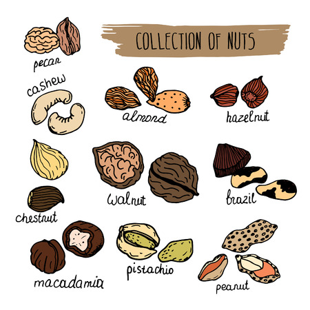 macadamia: Nuts type. hand drawn collection of nuts isolated on white