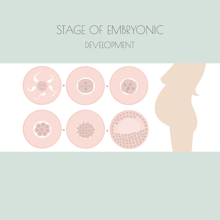 embryonic development: Fertilized. Embryo development illustration. Pregnancy stage Illustration