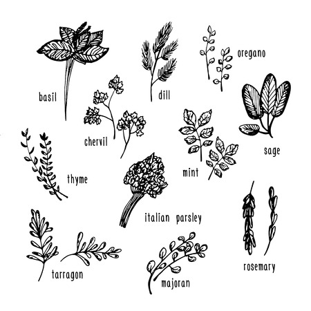 chive: Vector hand drawn set with culinary herbs and spices. Sketch illustration for use in menu, etc.