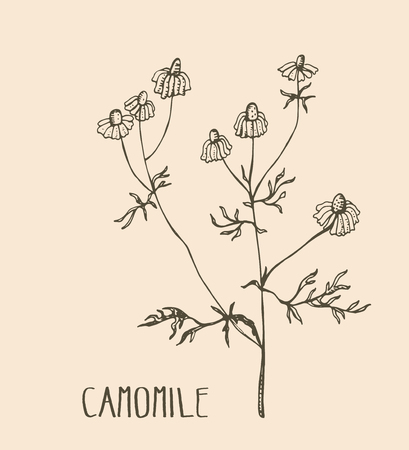 camomile tea: Hand drawn camomile. Vector illustration of medical herb camomile. Packaging design element