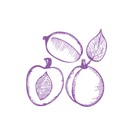 plums: Plums hand drawing vector illustration from sketch. Plums ink set Illustration