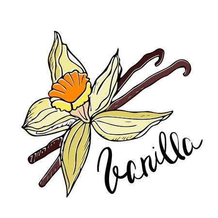 vainilla flor: Dibujado a mano de flores y Palos de vainilla. ilustración vectorial