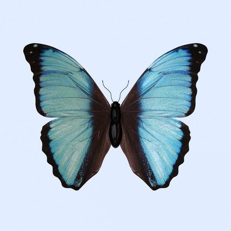 Blue Morpho-Schmetterling, wissenschaftlich als Morpho Deidamia bekannt