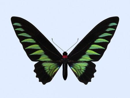 Rajah Brookes Birdwing. Die dreidimensionale Birdwing Schmetterling, wissenschaftlich als Trogonoptera Brookiana bekannt