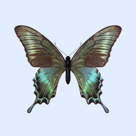 Die dreidimensionale Schwalbenschwanzfalter, wissenschaftlich als Papilio maackii bekannt