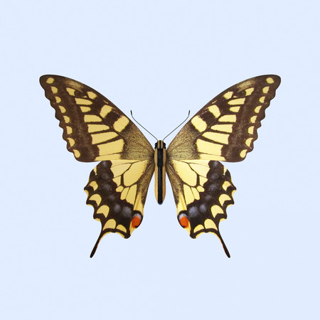entomologist: The Three-dimensional Swallowtail Butterfly, scientifically known as Papilio Machaon Stock Photo