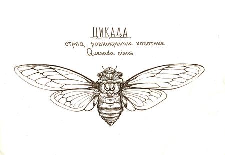 cicada insect quesada gigas