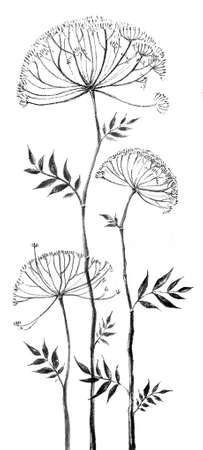 umbrella-shaped flower, angelica graphics,botany, hand-drawn liner, illustration 免版税图像