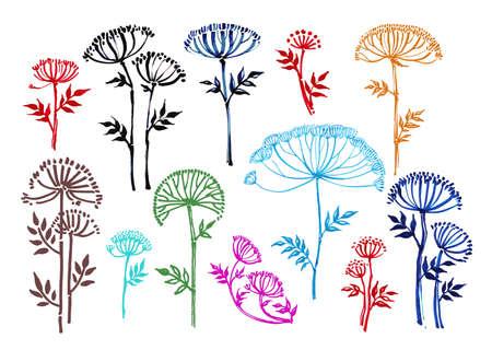 umbrella-shaped flower, angelica graphics,botany, hand-drawn liner, illustration 矢量图像