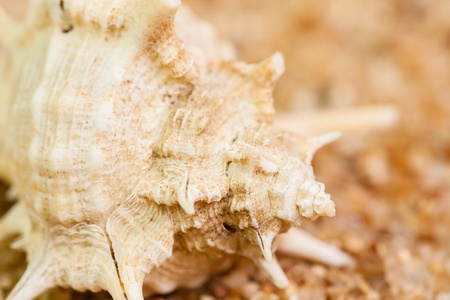 murex shell: Macro image with a shallow Depth-of-Field of a murex ternispina shell on coarse sand displaying its natural patterns, ridges and spirals  It belongs to the family of rock snails, murex snails, sea snails  Stock Photo