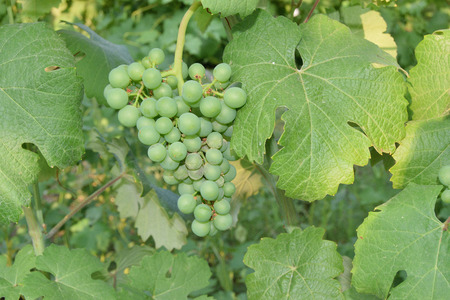 Close up of grape unripe on the plant