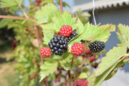 blackberries not yet ripe on the plant Reklamní fotografie