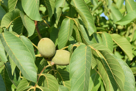 close-up of unripe nuts still on the tree