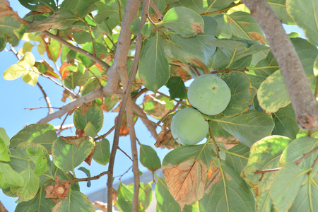 ebenaceae: Close up of unripe persimmon still on the tree
