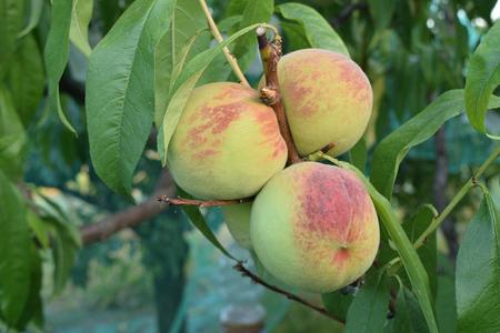 Peaches almost ripe still on the tree