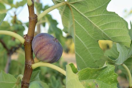 Figs almost ripe still on the tree Reklamní fotografie