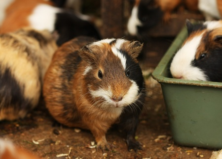Funny guinea pig photo