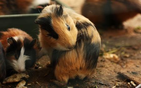 Funny guinea pig photo