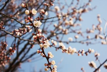 apple blossom: Spring branch Stock Photo