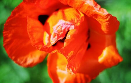 Beautiful colorful blooming spring poppy