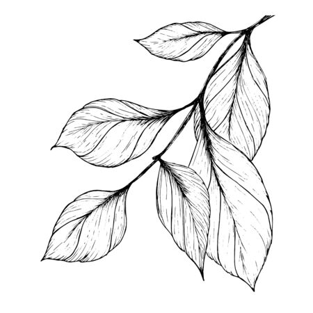 A branch with leaves. Hand drawn with a black pen. Trace in vector. Black and white illustration. Isolated on the white background
