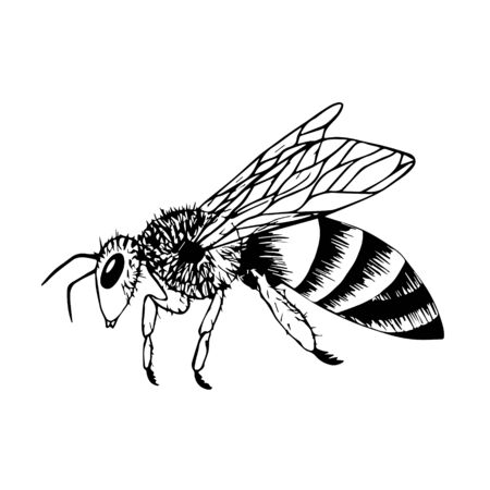 Doodle style bee. Black and white vector illustration. Insect is drawn by hand and isolated on a white background. Sketch of a honey bee. Side view. Outline drawing.