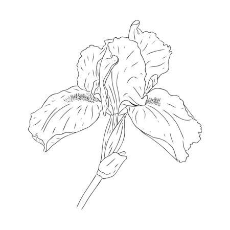 Blooming iris flower. Flower with texture in an outline style. Iris sketch for postcard design. Black and white Botanical vector illustration. Drawn by hand and isolated on a white background.